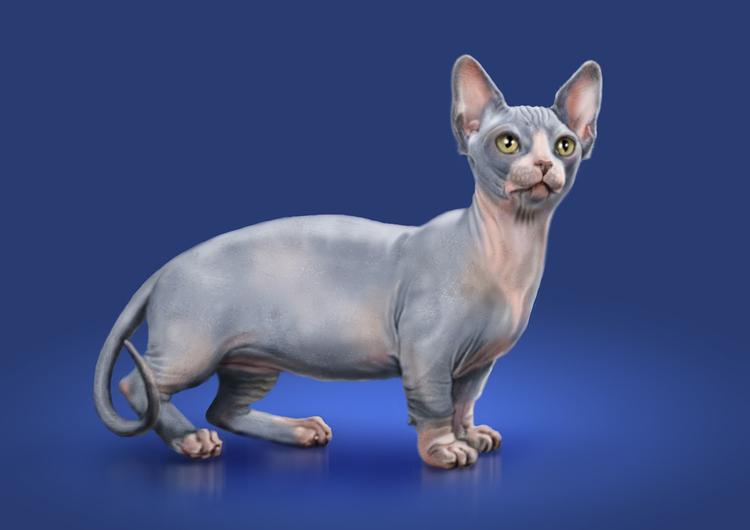 Рисунок кота породы Минскин фото