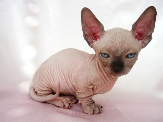 Котенок породы Минскин фото