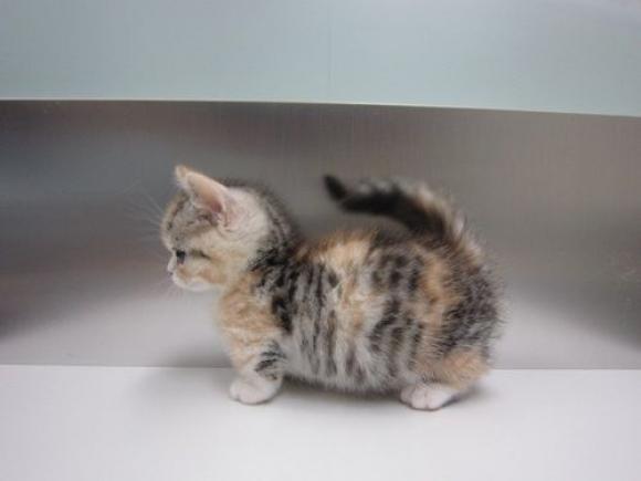 Munchkin kitten wallpaper