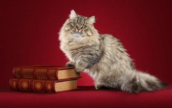 Кот породы Наполеон и книги фото