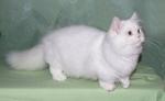 Кот породы Наполеон на зеленом фоне
