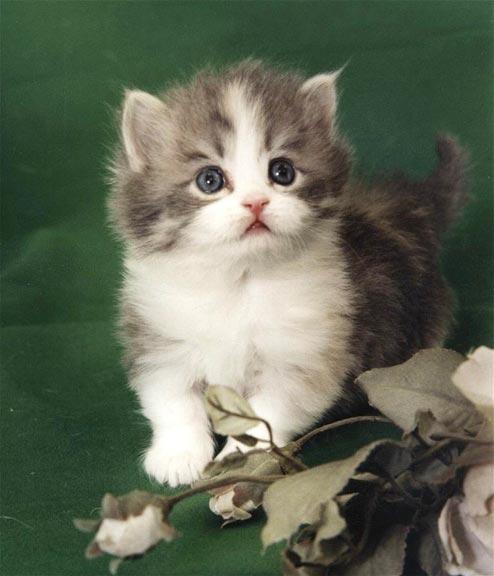 Napoleon kitten wallpaper