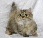 Napoleon kitten portrait