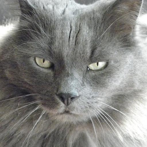 Морда кота породы Нибелунг фото