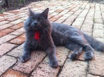 Nebelung on the street