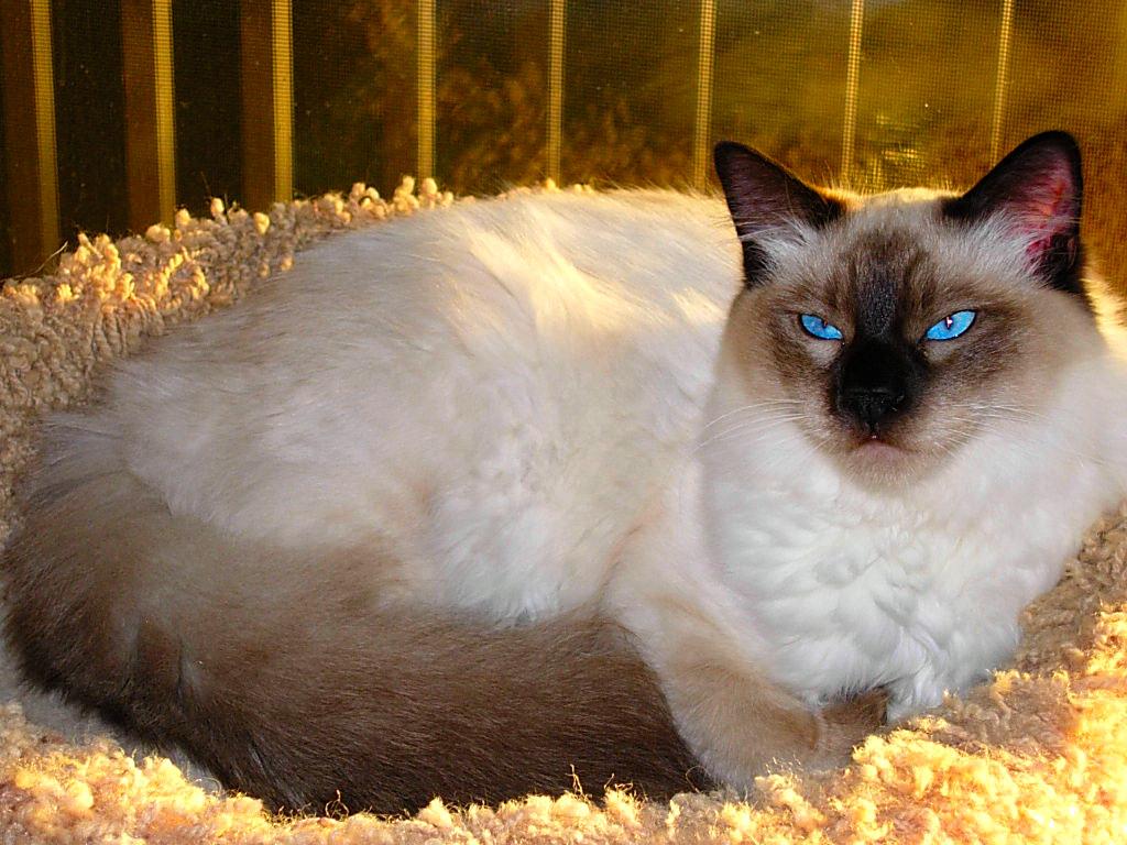 Милая Балинезийская кошка фото
