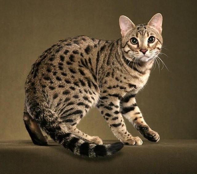 Милый Бенгальский кот фото