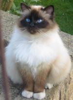 Nice Birman cat