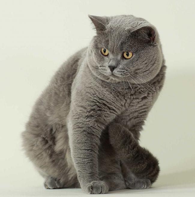 Милая Британская короткошерстная кошка фото