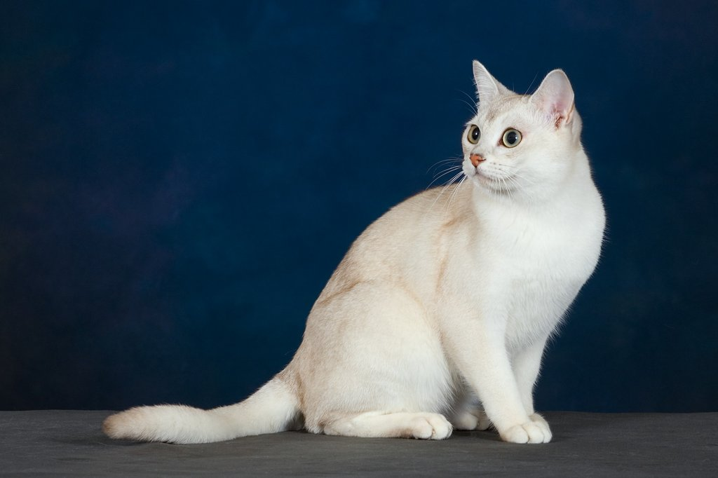 Милая кошка породы Бурмилла фото