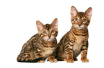 Милые котята Калифорнийской сияющей кошки