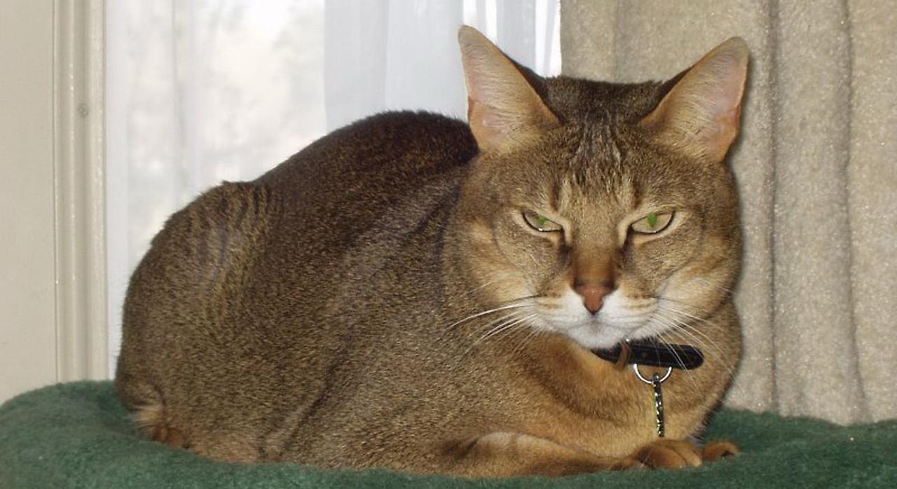 Милая кошка породы Чаузи фото