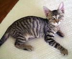 Nice Cheetoh kitten