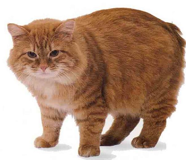 Милый кот породы Кимрик фото