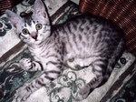 Nice Egyptian Mau kitten