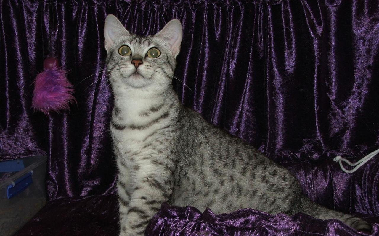 Nice Egyptian Mau  wallpaper