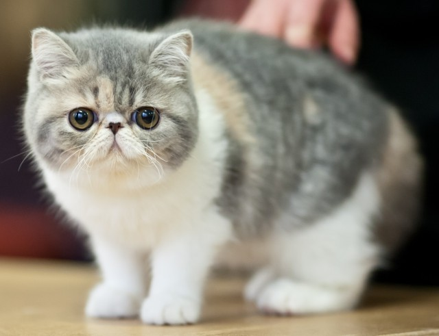 Nice Exotic Shorthair kitten  wallpaper