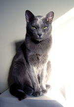 Милый кот Корат