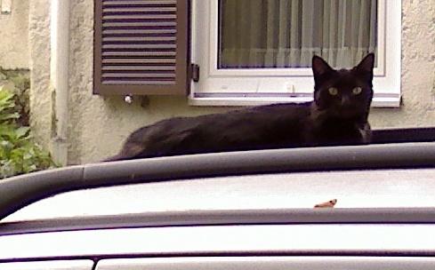 Милый кот породы Корн Джа фото