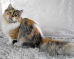 Милый кот породы Наполеон