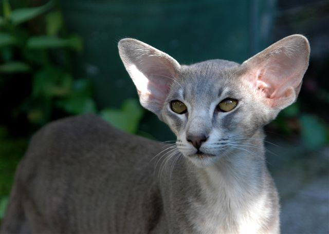 Nice Oriental Shorthair wallpaper