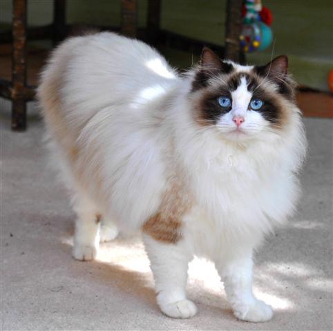 Милый кот Рэгдолл фото