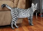 Милый кот Саванна