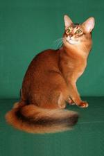 Милый кот породы Сомали