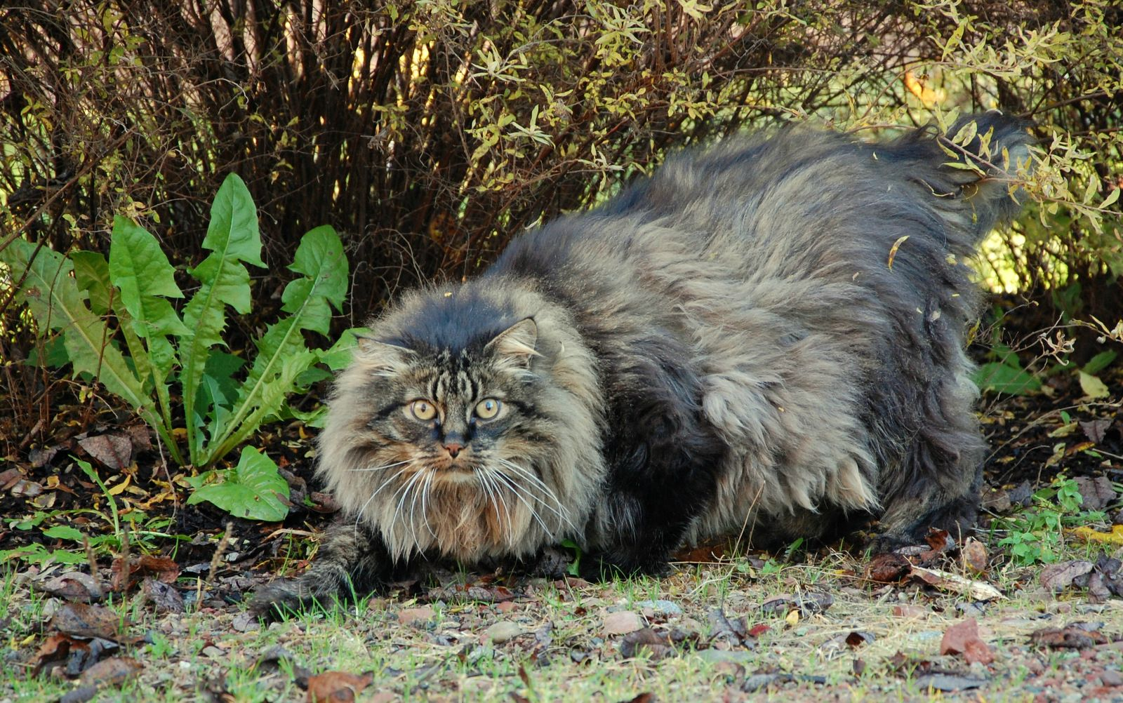Norwegian Forest Cat in forest wallpaper