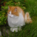 Norwegian Forest Cat in nature
