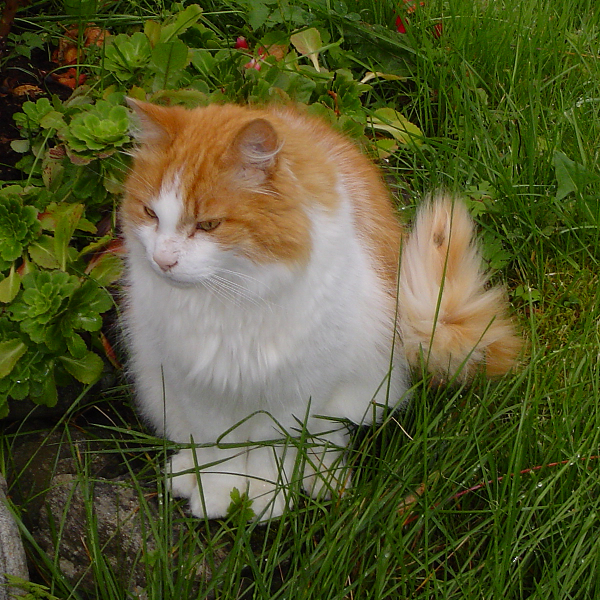 Норвежская лесная кошка на природе фото