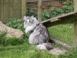 Norwegian Forest Cat in the yard
