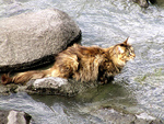 Norwegian Forest Cat in water