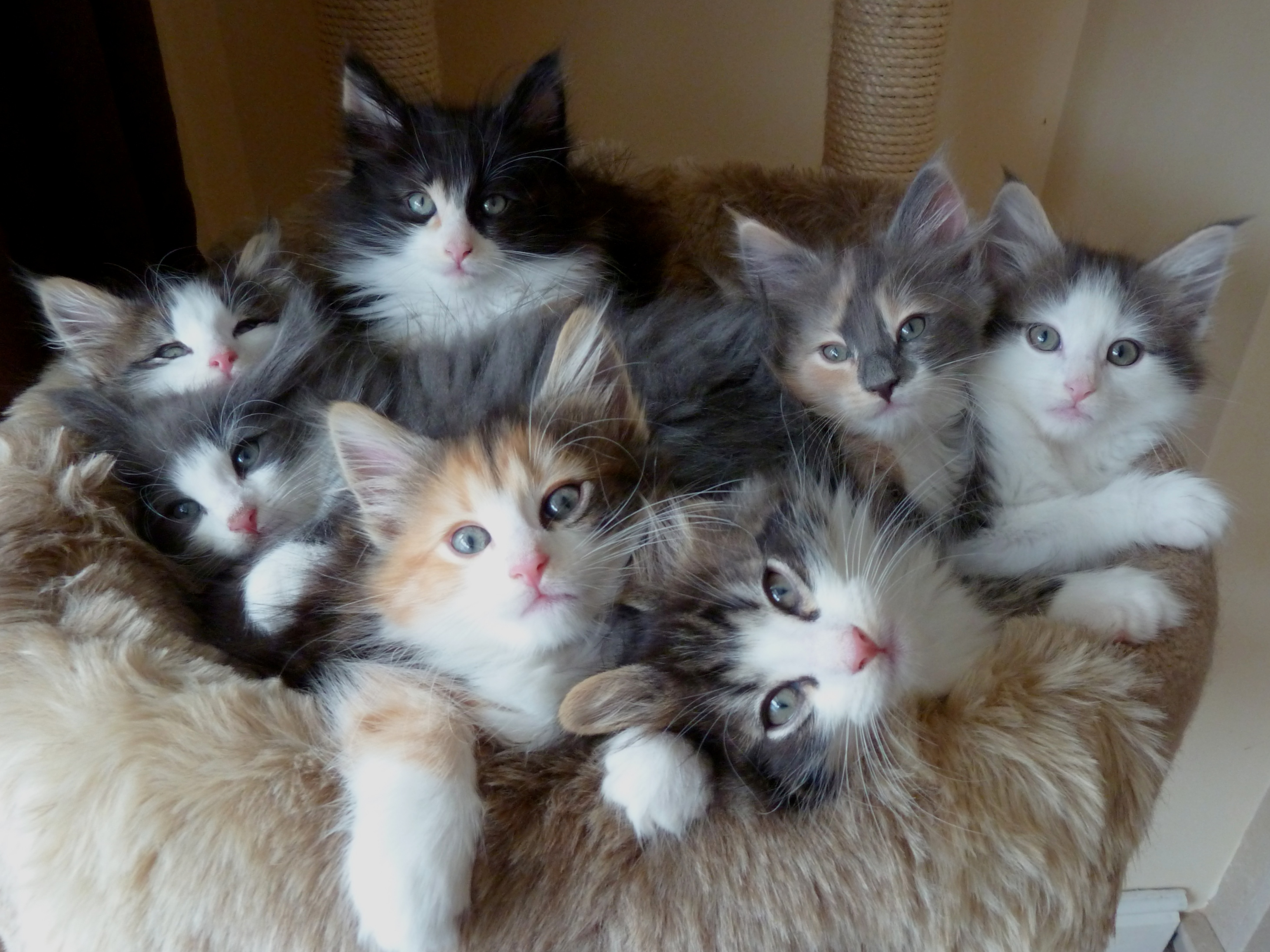 Norwegian Forest Cat kittens on a couch wallpaper