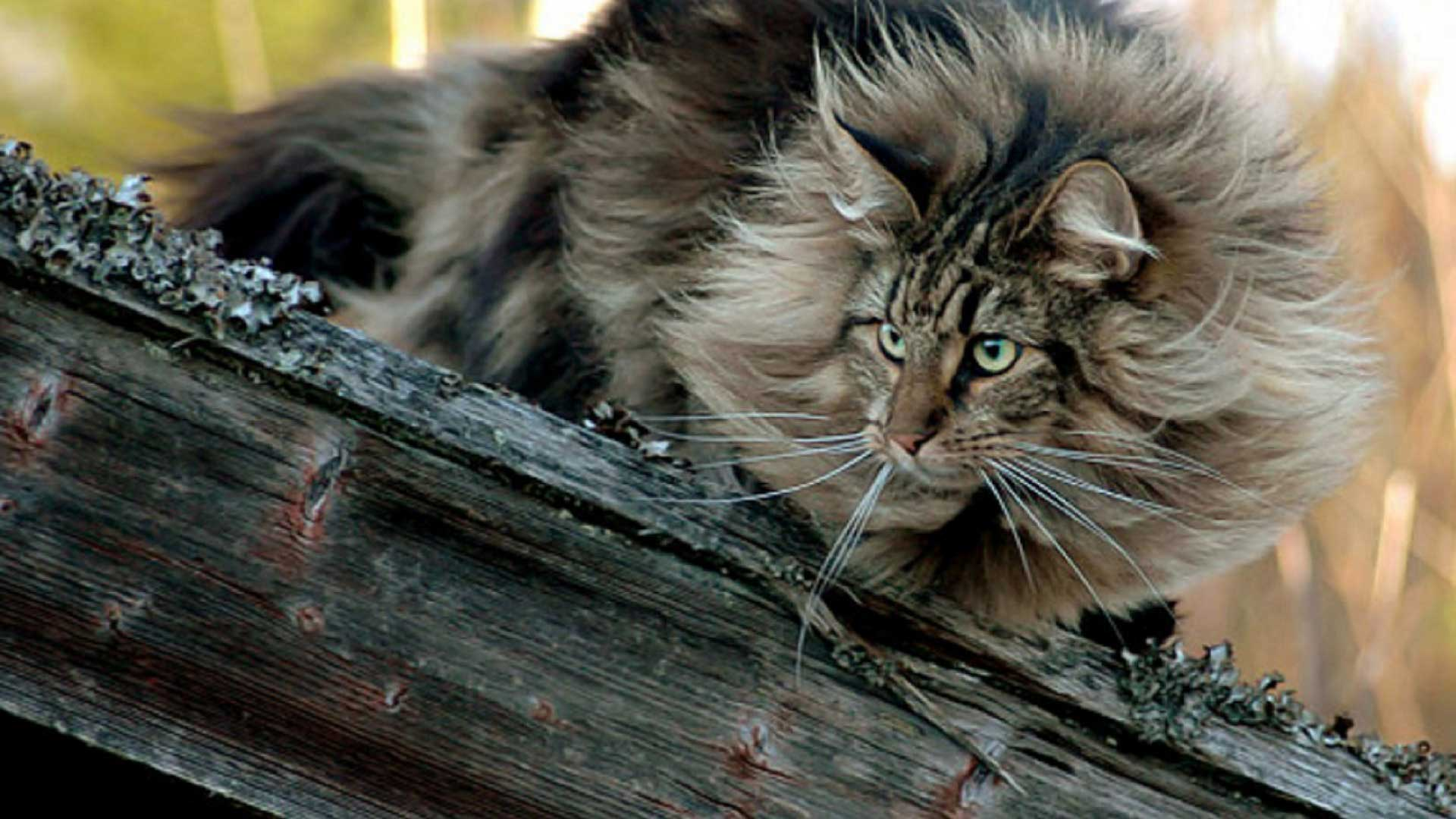 forest cat on a log photo and wallpaper