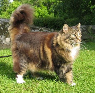 Norwegian Forest Cat on grass wallpaper