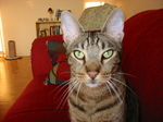 Ocicat cat face