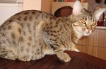 Ocicat cat on the table