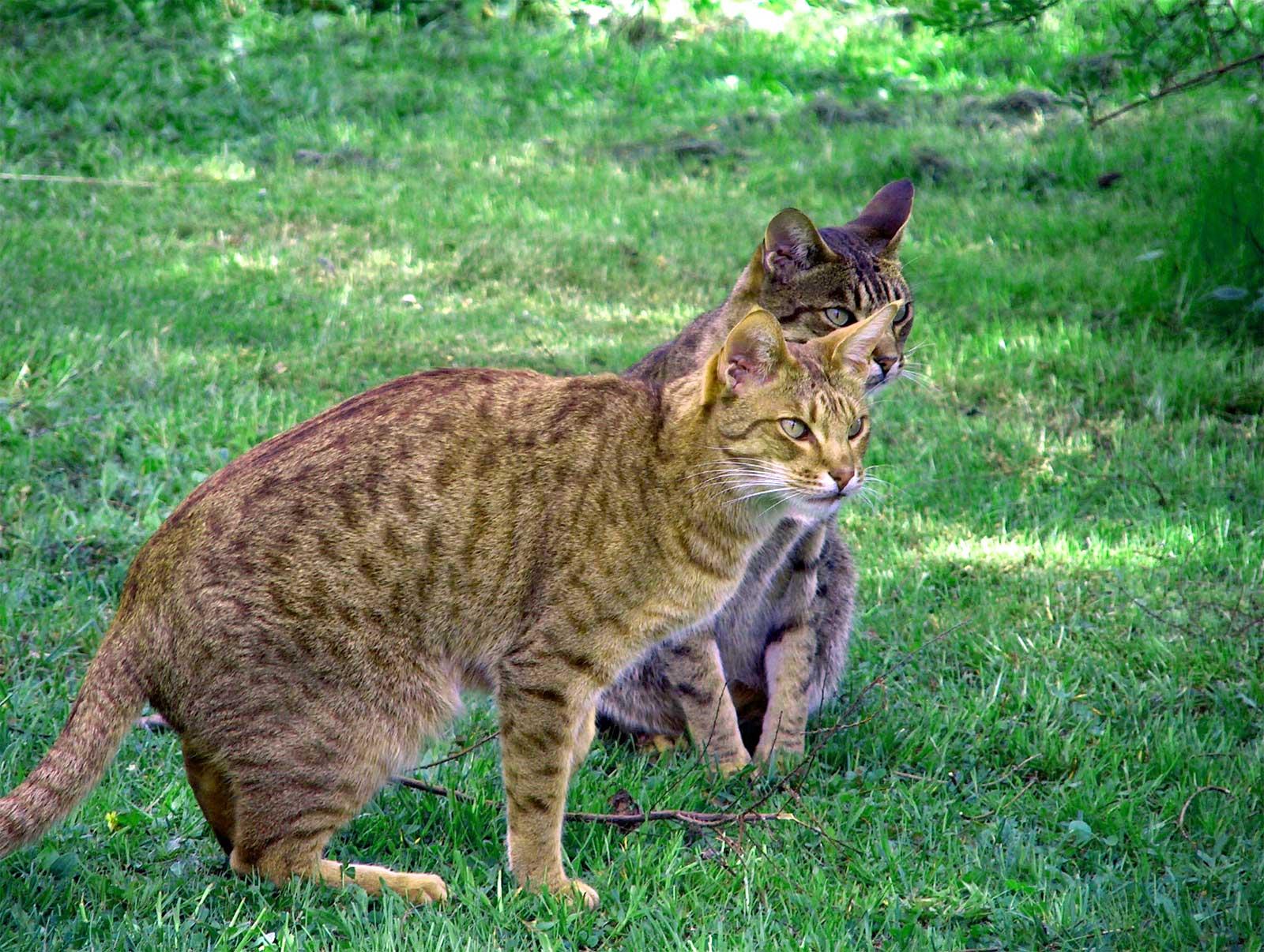 Кошки Оцикот наблюдают фото