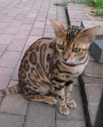 Ocicat for a walk