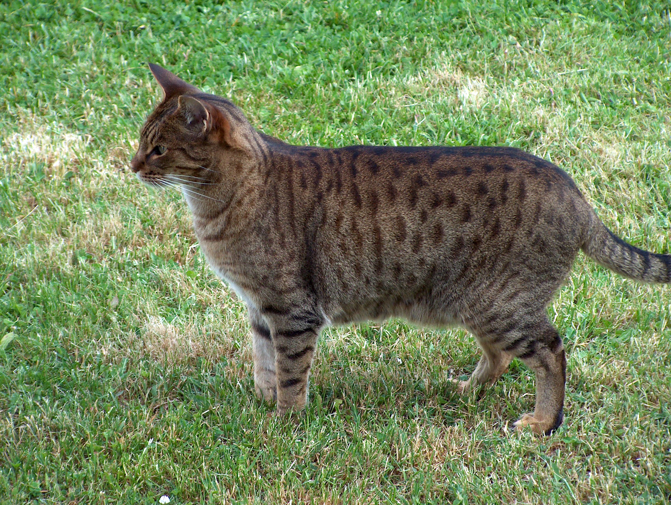 Ocicat in nature wallpaper