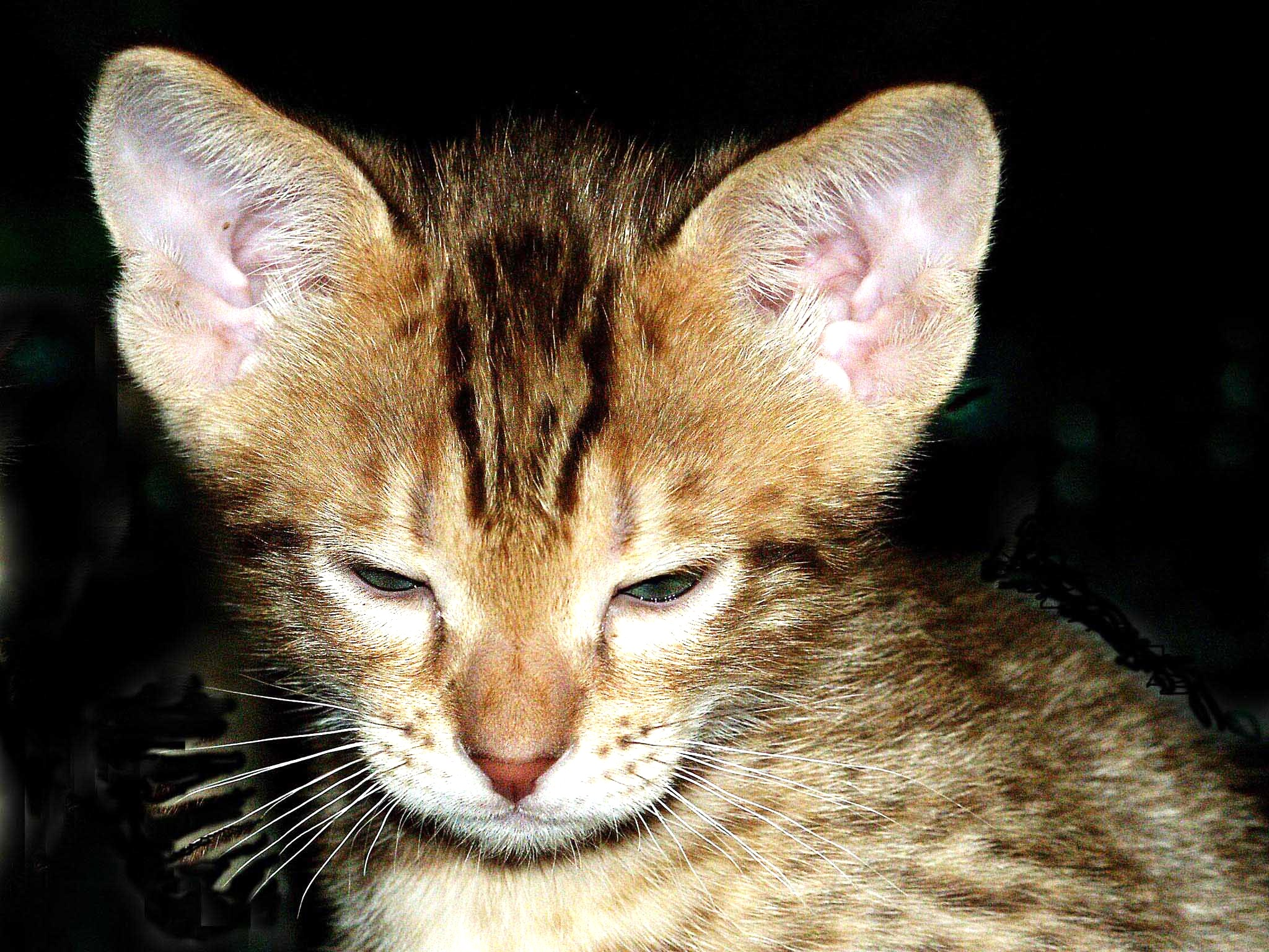 Ocicat kitten wallpaper