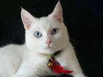 Морда кота породы Охос Азулес