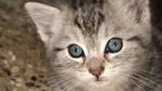 Ojos Azules kitten