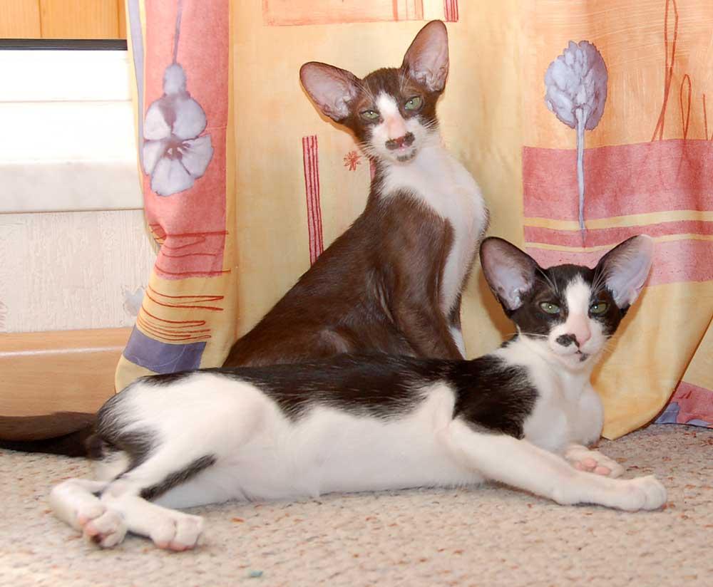 Oriental Bicolor cats wallpaper