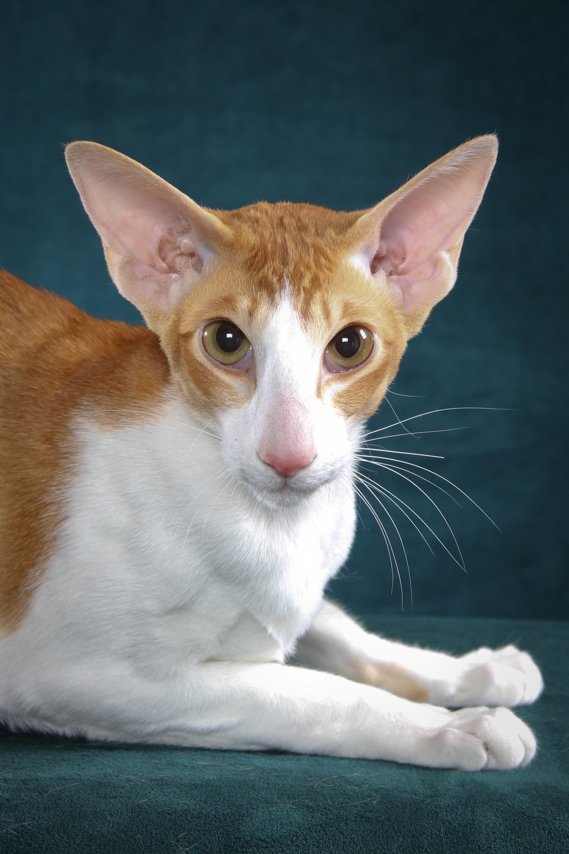 Портрет кота породы Ориентал Биколор фото