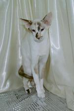 Oriental Bicolor white background