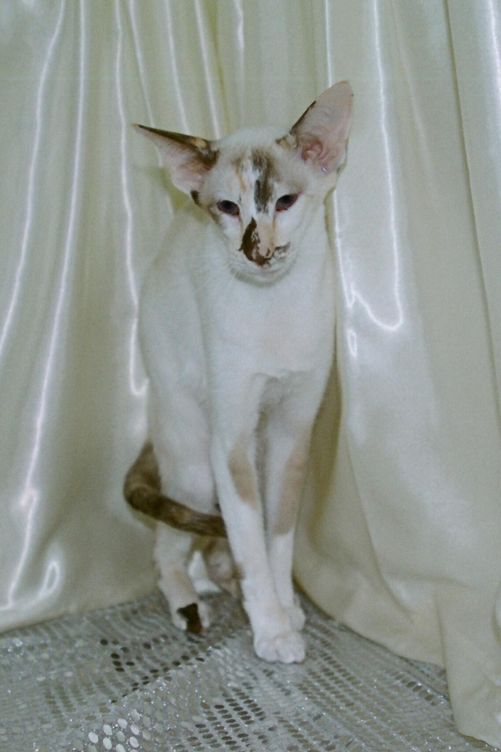 Oriental Bicolor white background  wallpaper