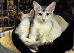 Семья котов породы Ориентал длинношерстный