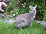 Oriental Longhair in garden
